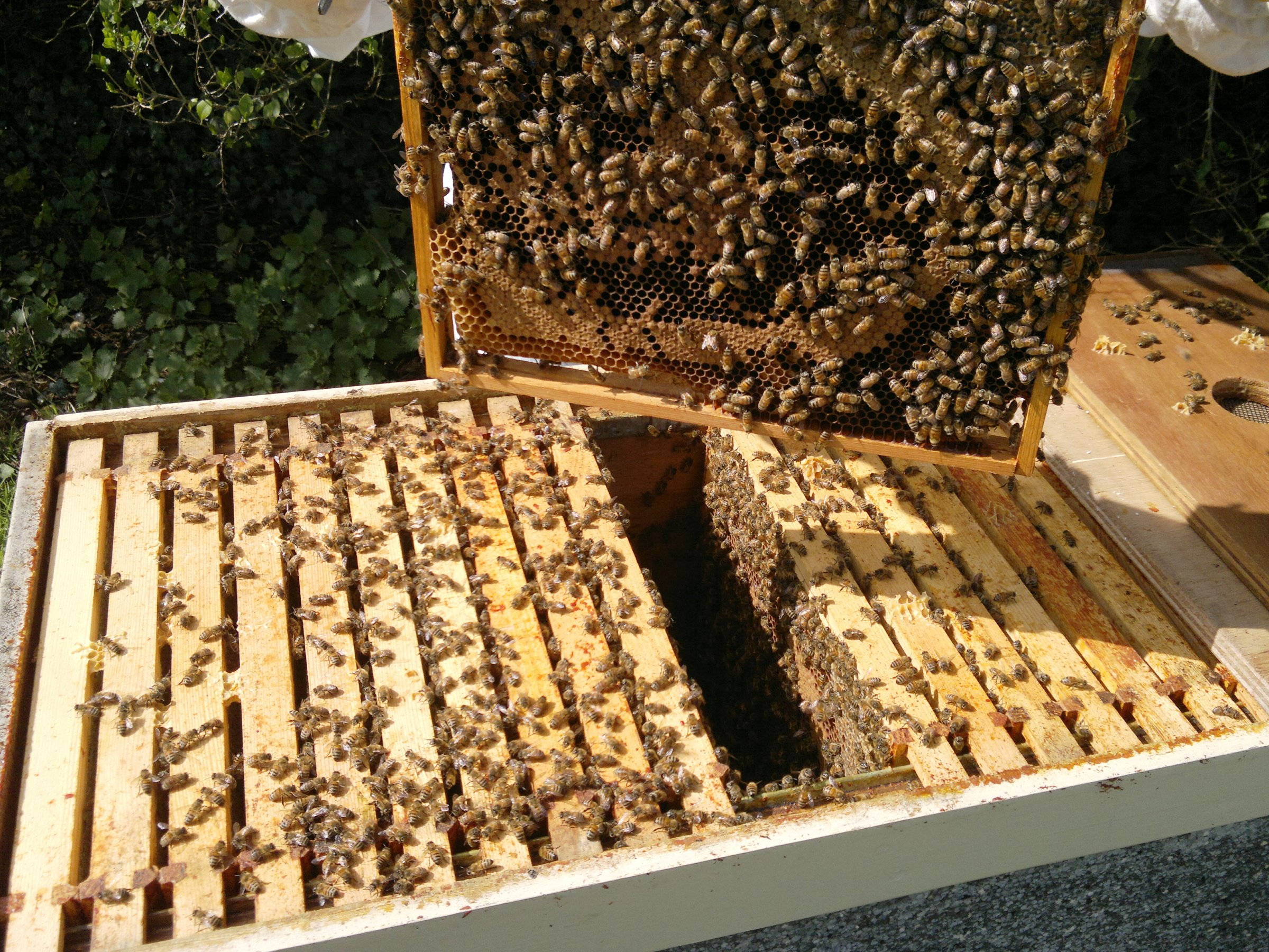 Lots of bees and lots of brood