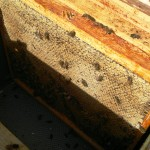 Another frame of solid honey