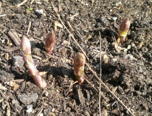 The wild asparagus just emerging