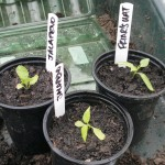 Plugs potted on