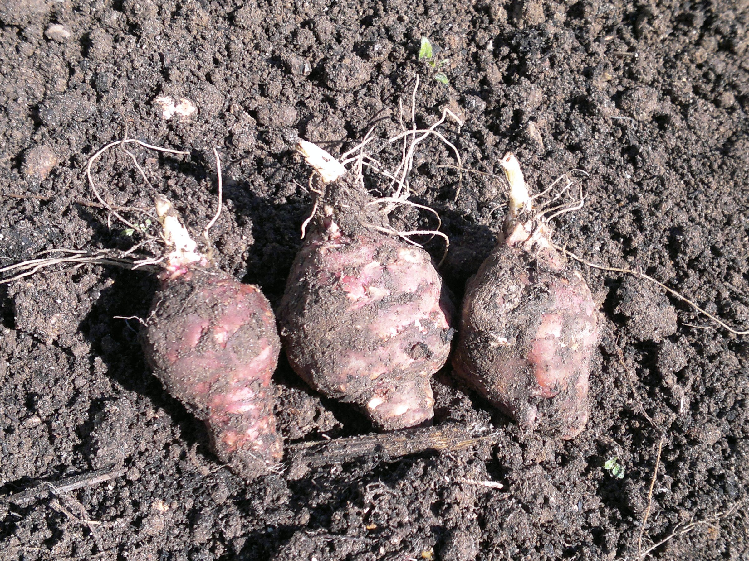 Jerusalem artichoke tubers with new roots and shoots