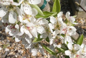 Pear blossom benefitting from the attention of the bees