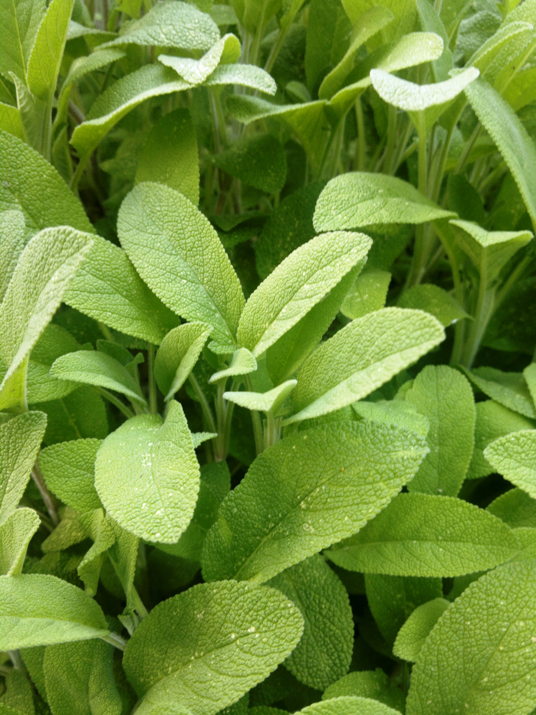 The vibrant leaves of fresh sage