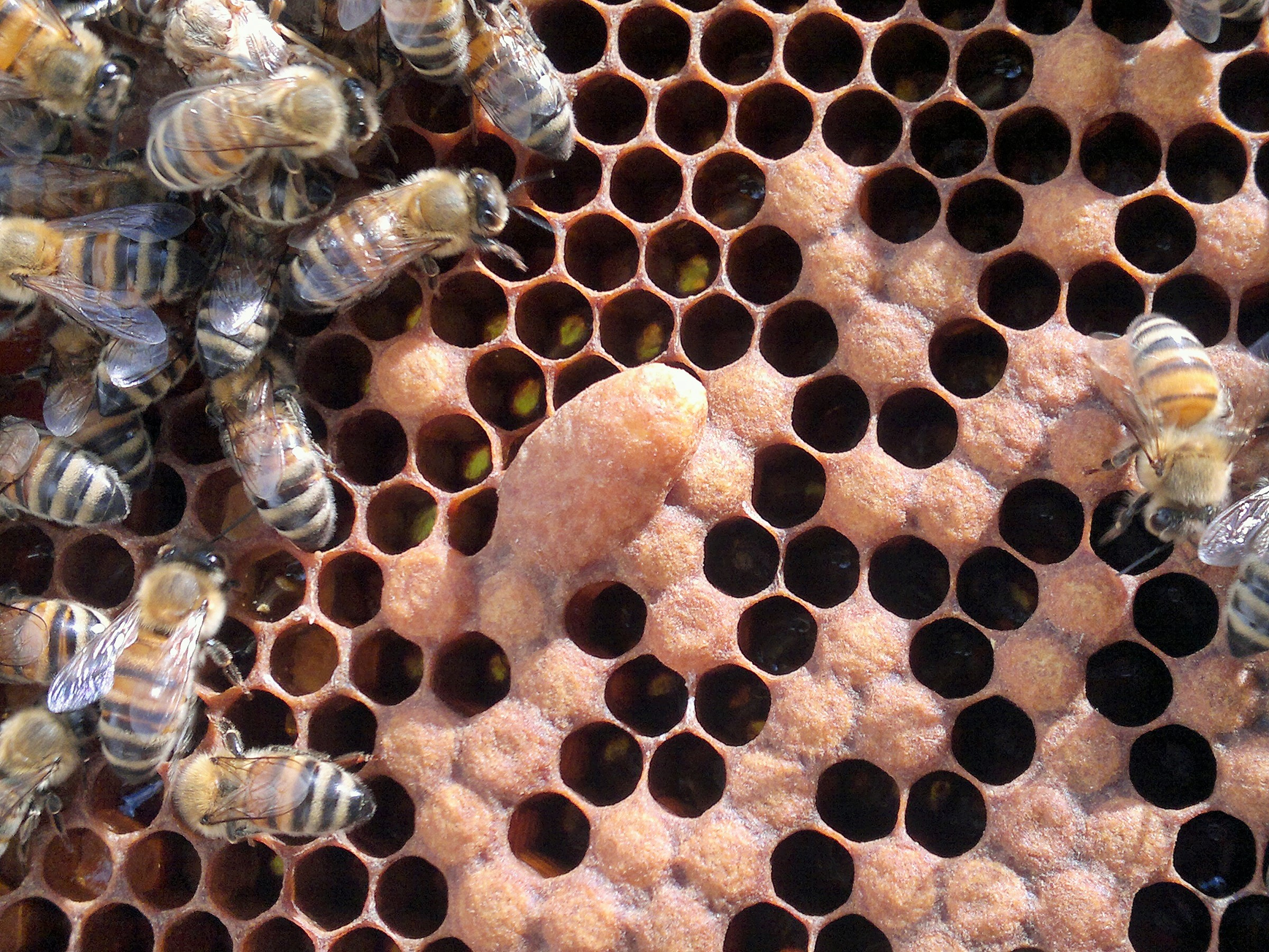 Isolated queen cells can be hard to spot if the frames are covered with bees