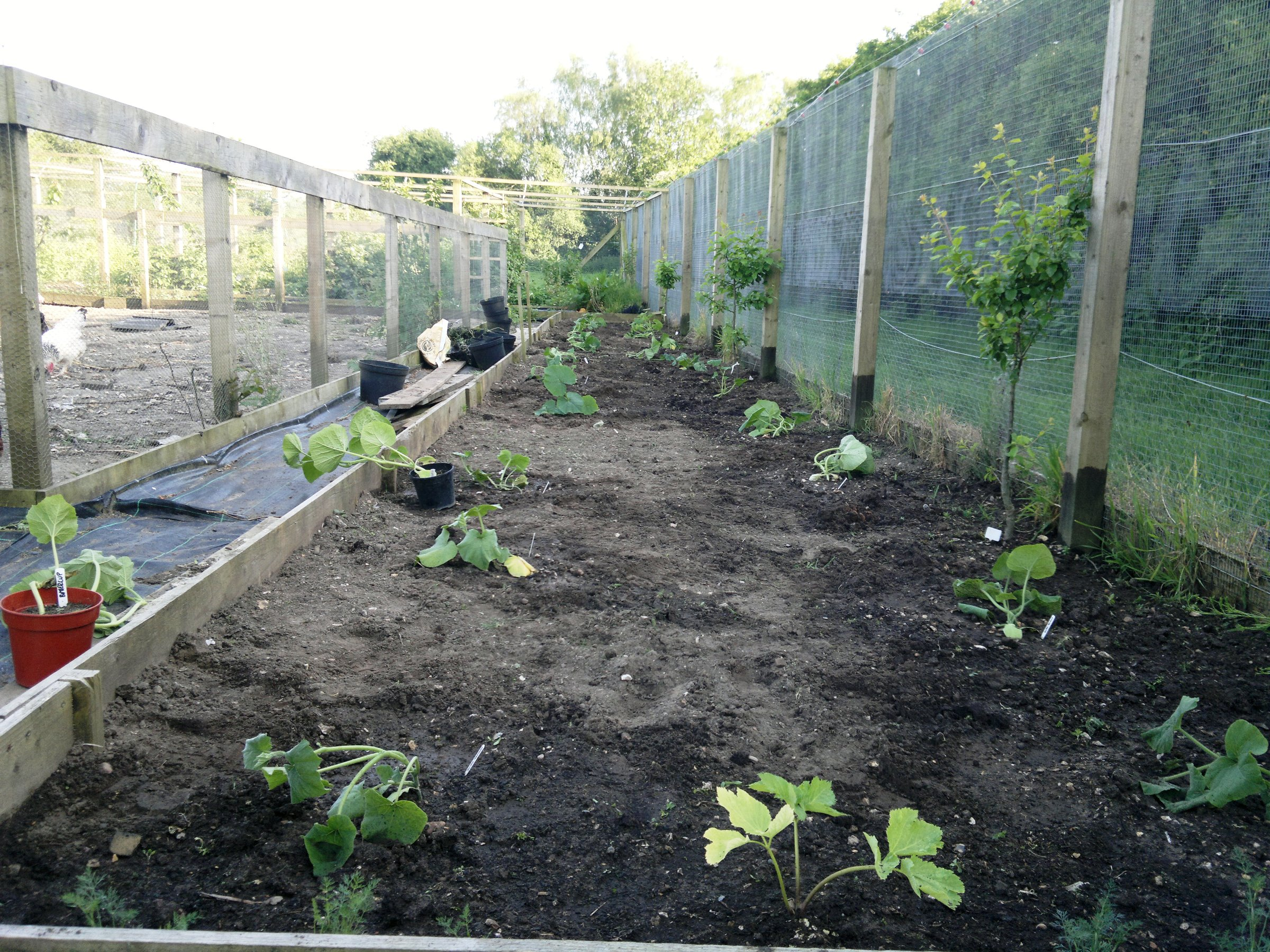 The finished winter squash bed; the plants should shoot away after a week or two