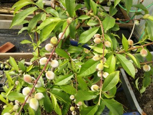 Peach bush overburdened with fruit