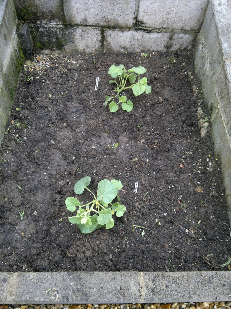 Young melon plants in one of the cold frames