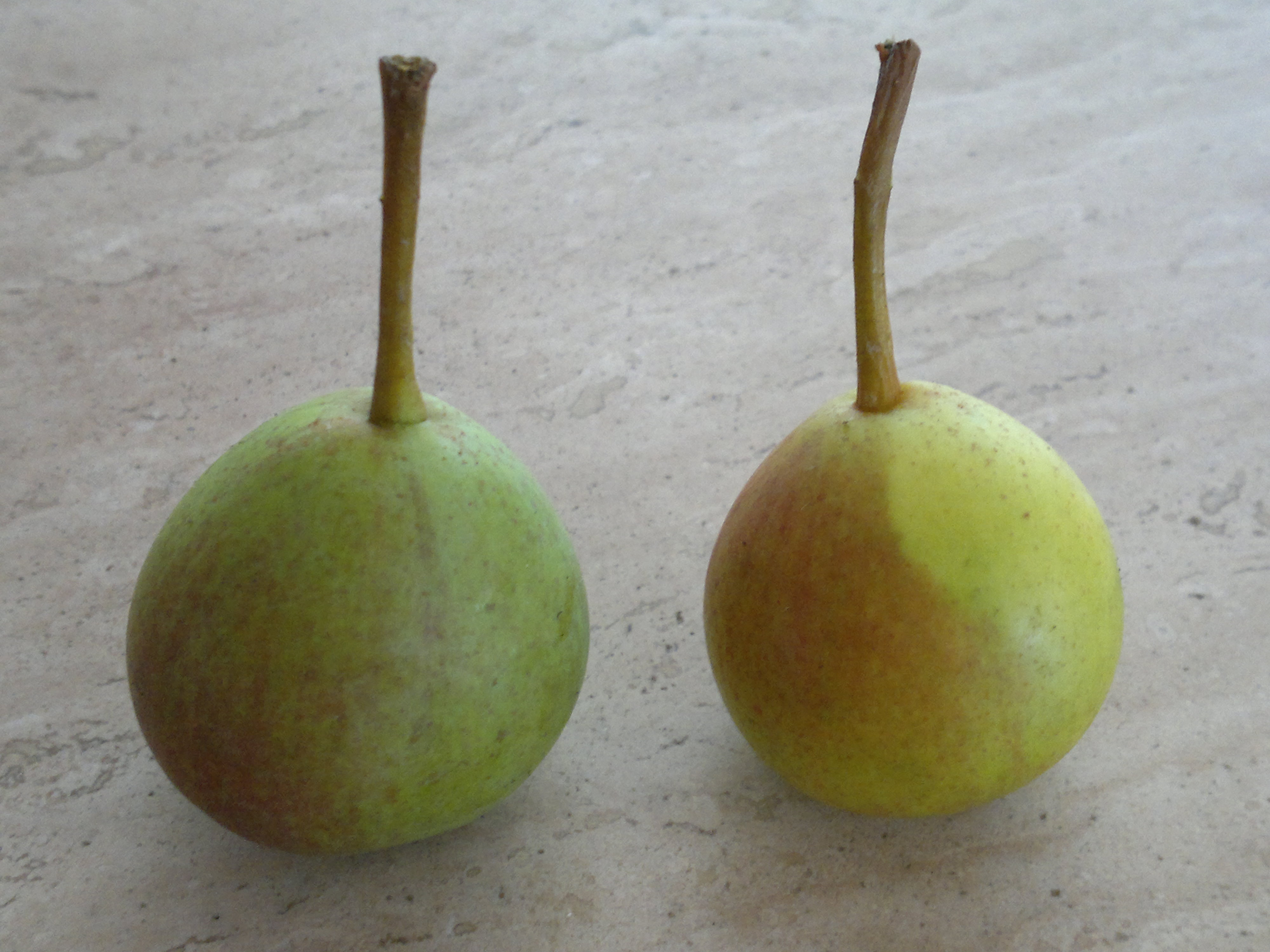 Judging the ripeness; the pear on the left needs a couple of days to ripen, whilst the pear on the right is perfectly ripe, as indicated by the green turning to yellow and the dull flushing to crimson