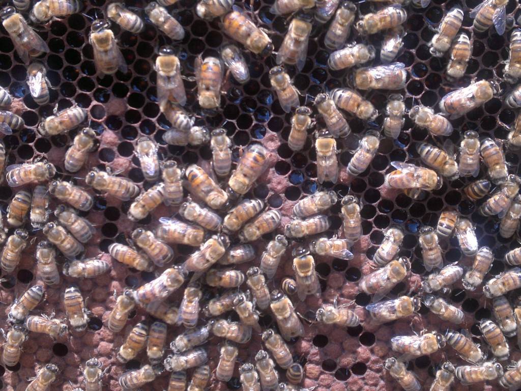 No space here - each frame is full of sealed brood, honey, and pollen, but no signs of eggs or young larvae