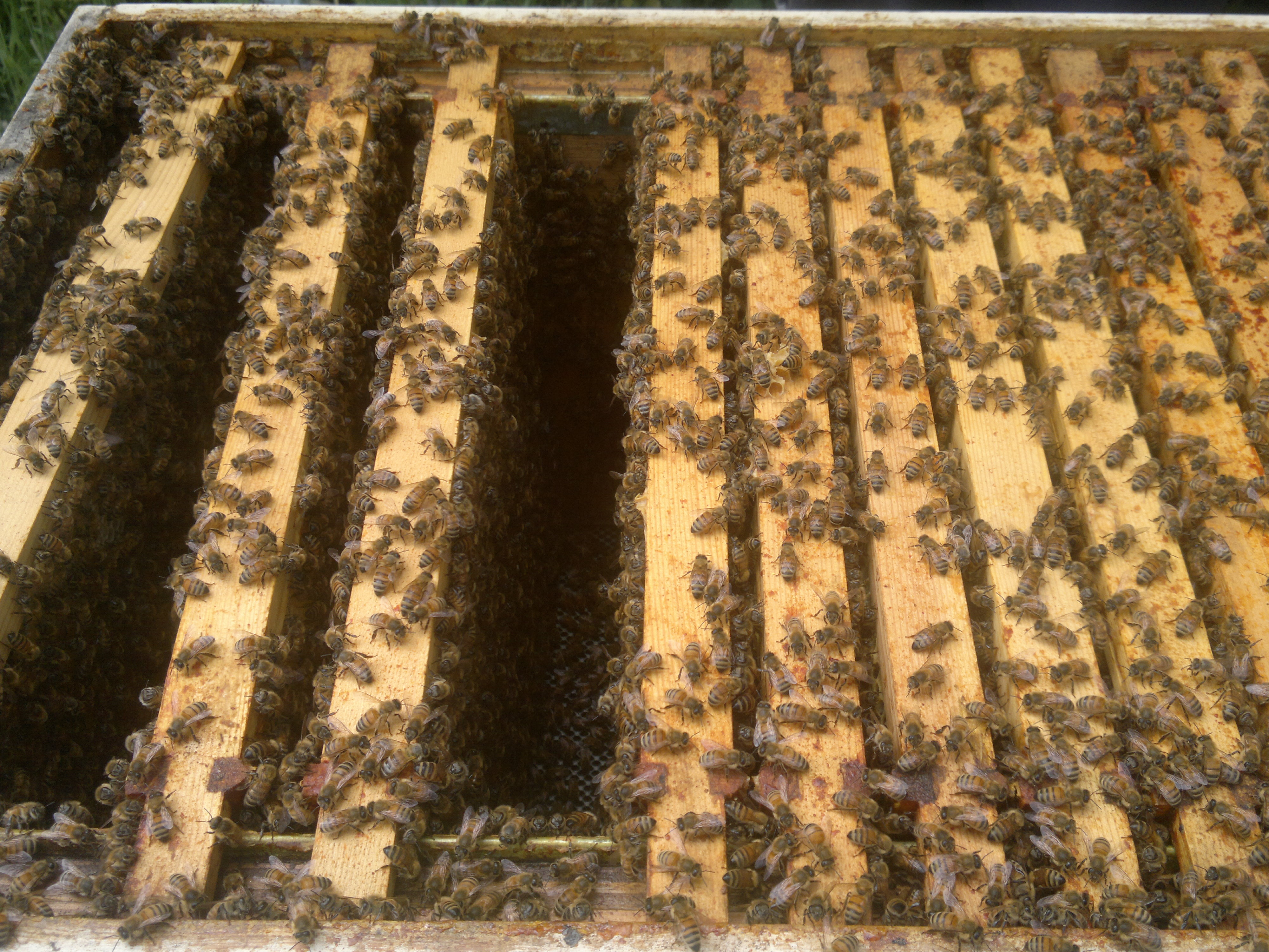 The long deep hive houses a huge number of bees - each frame is packed