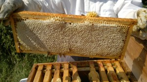 Frame of sealed honey