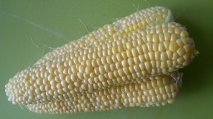 Freshly picked cobs of corn