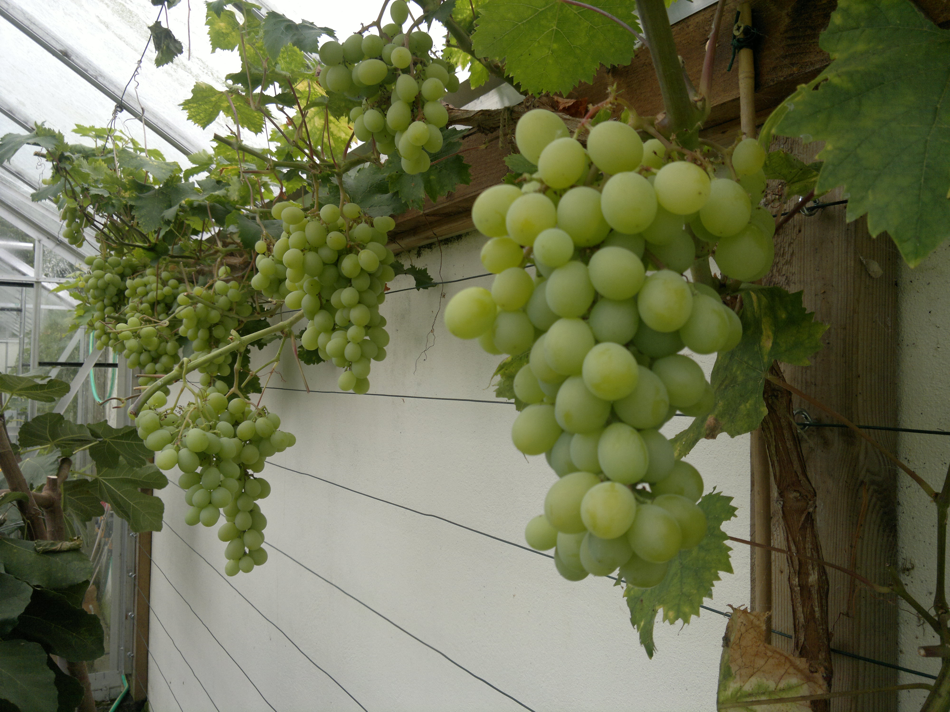 Bunches of Muscat of Alexandria cleared of all shading foliage
