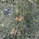 Apple cordons prior to pruning