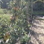 Apple cordons after pruning