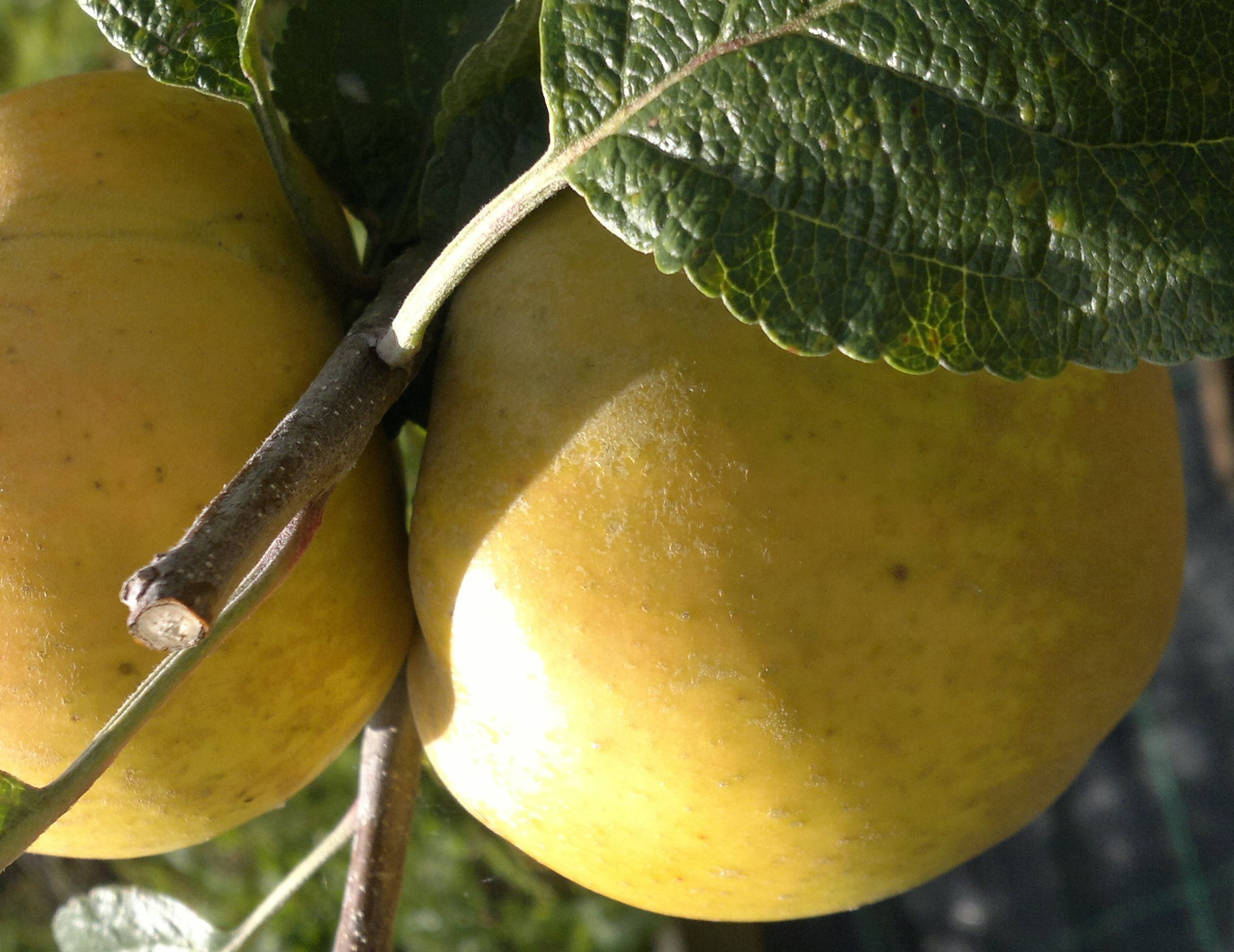 The golden russet of St Edmund's Pippin ripening on the tree