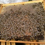 Still plenty of brood in the hive