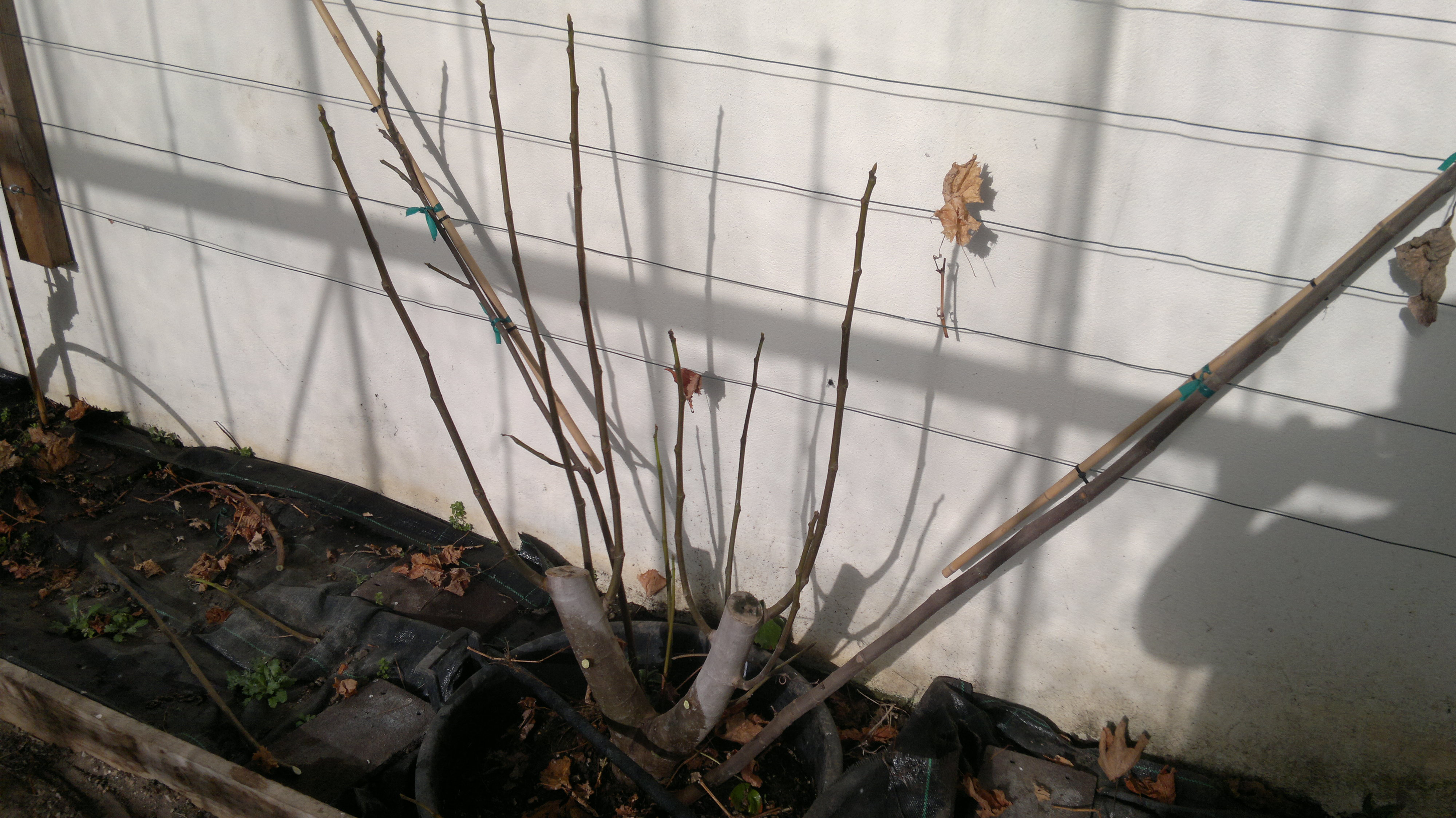 New growth to be tied in on the Brogiotto Bianco fig