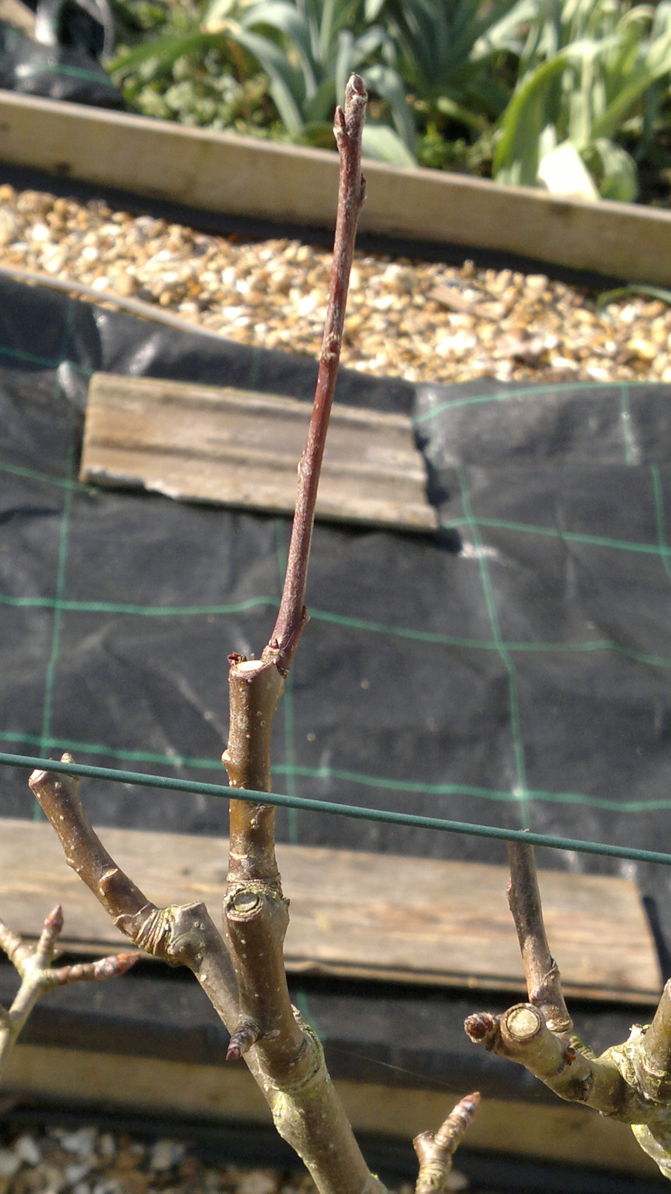 Short length of secondary growth terminating in a fruit bud