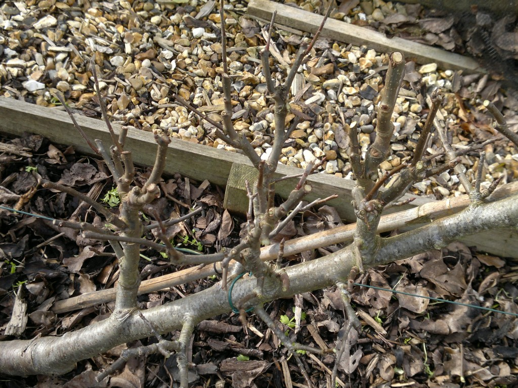 Spur system after pruning - at this stage, not too much needed to be removed