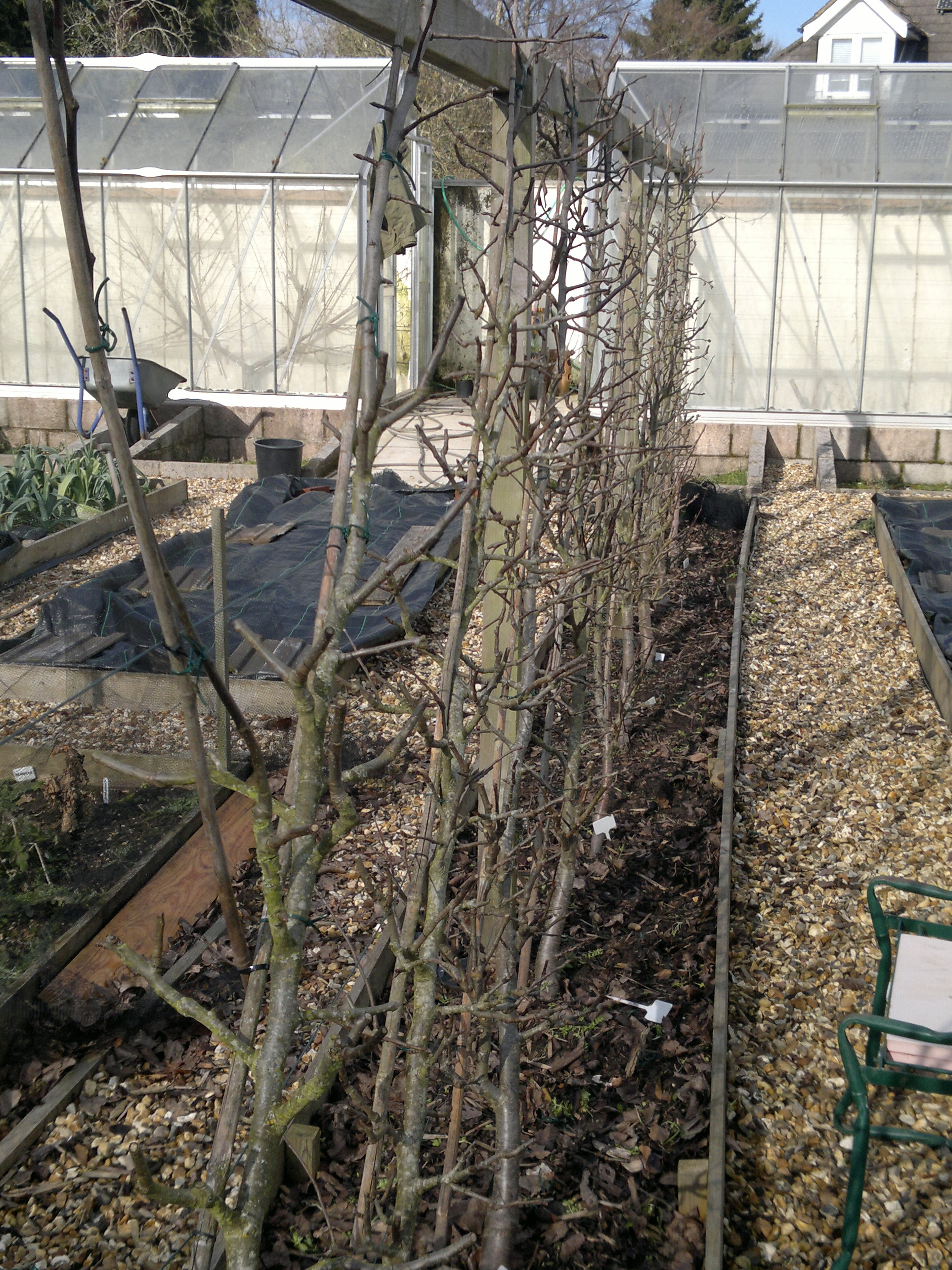 Cordon pears, pruned and retied