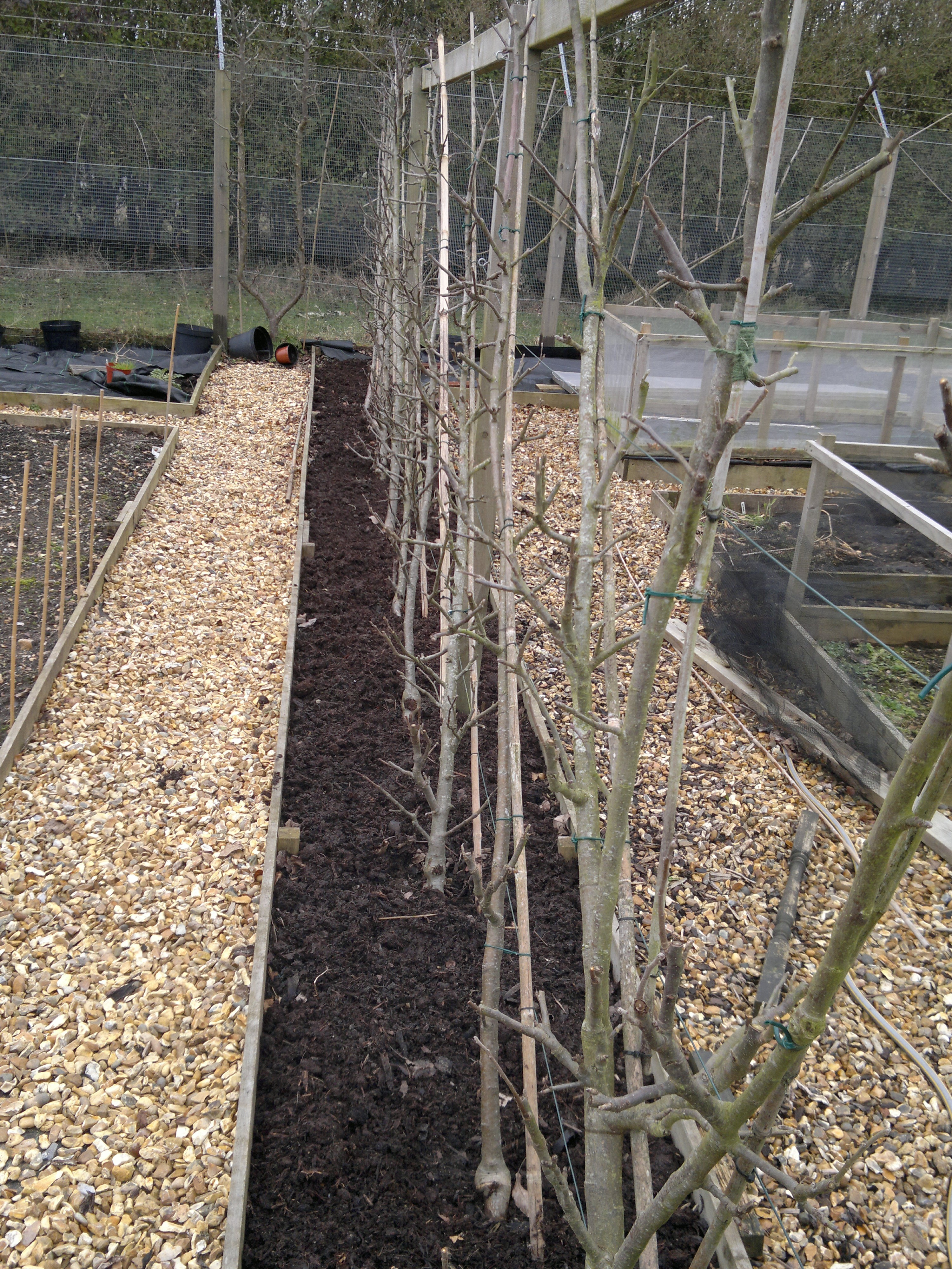 Cordon apples, pruned and retied