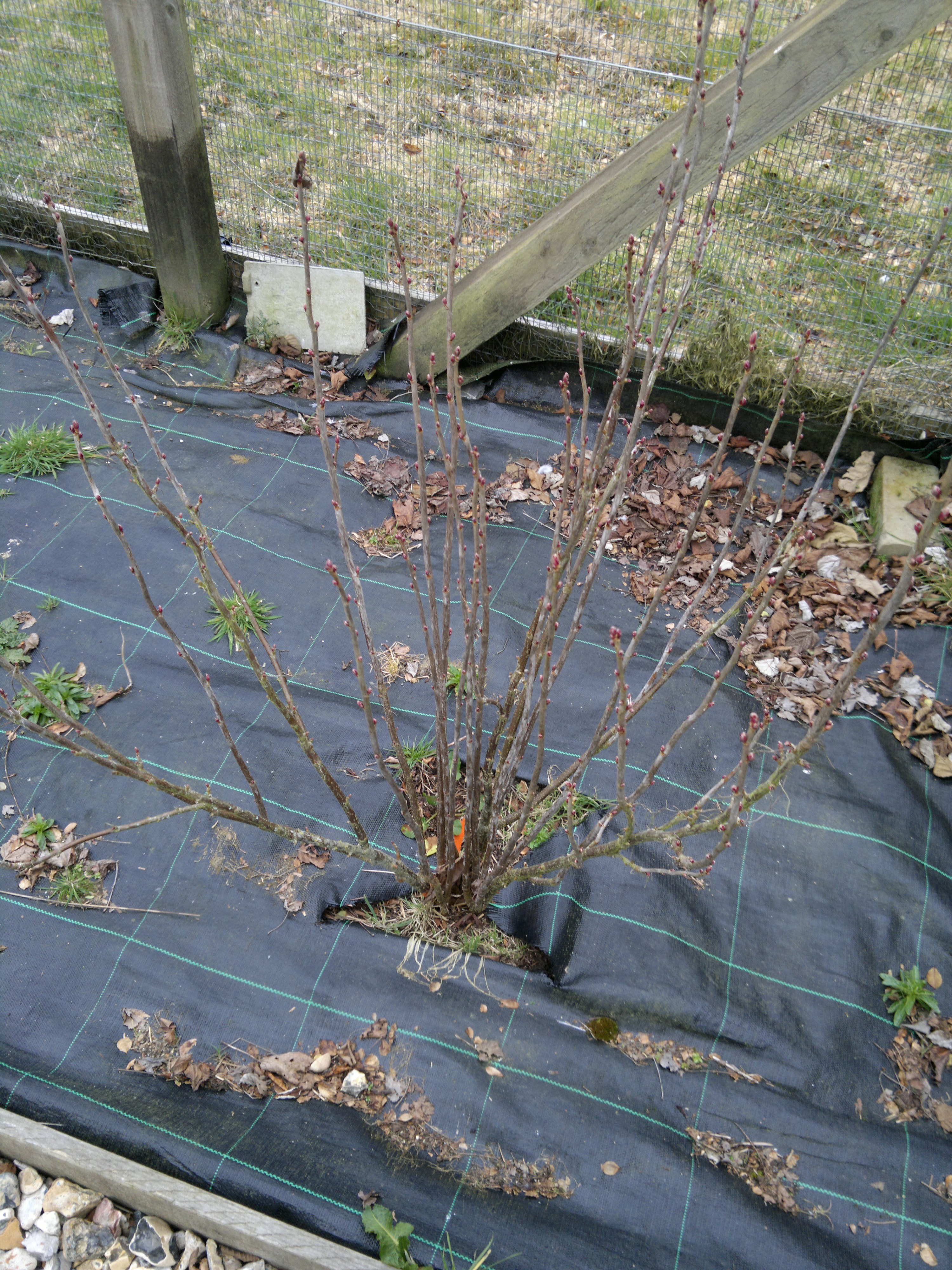 Black currant - before pruning