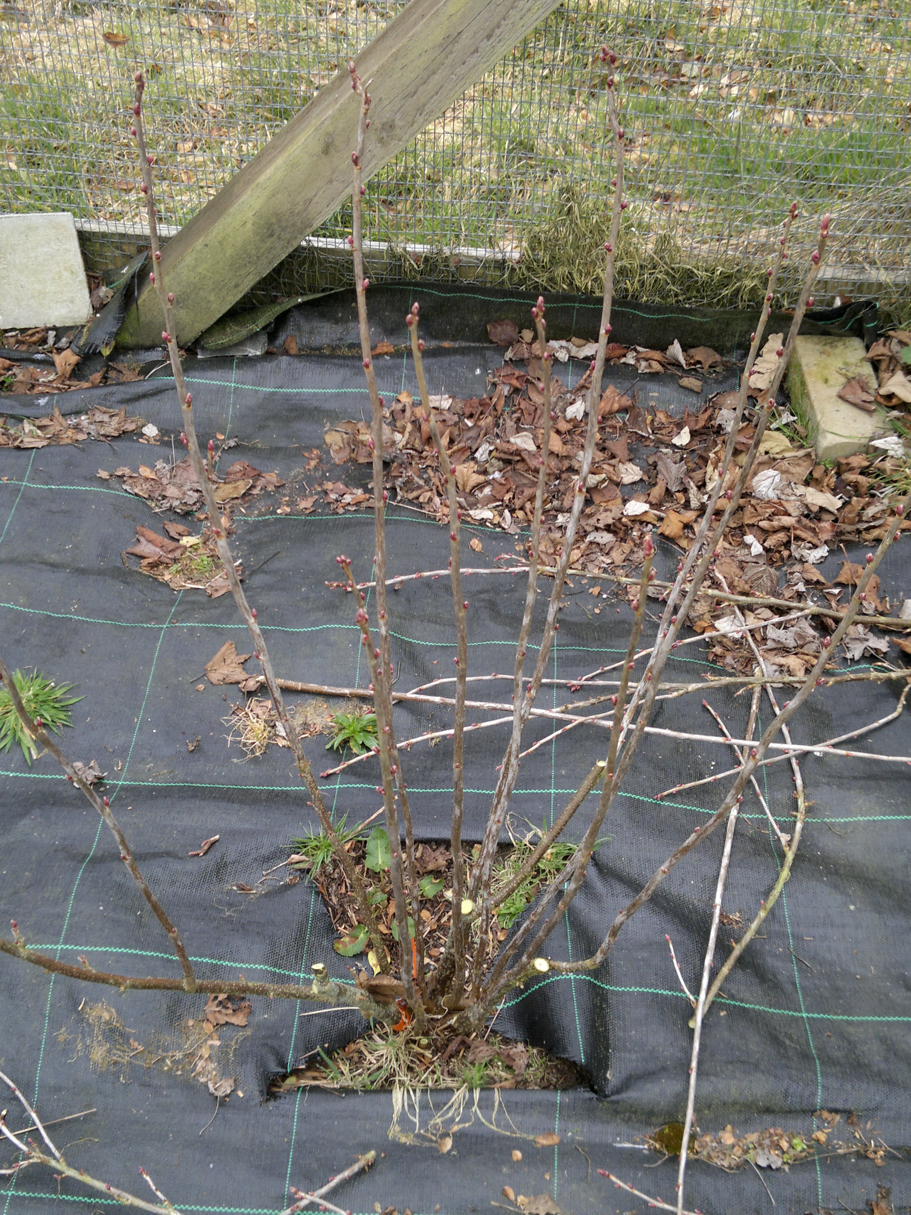 Black currant - after pruning