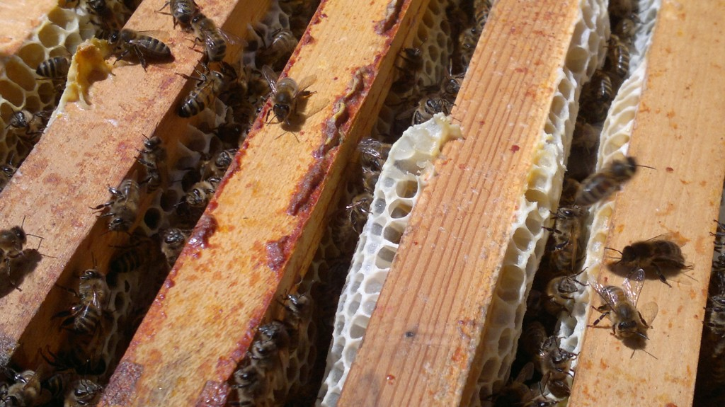 Bees filling the supers in the long deep hive