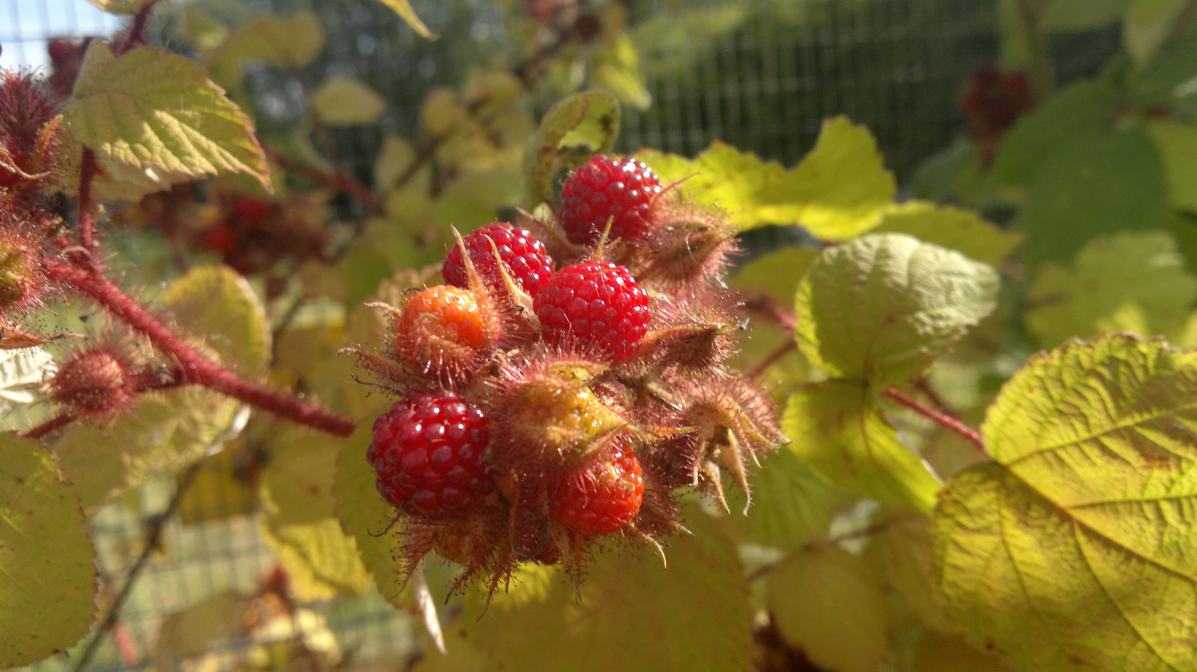 Cluster of wineberries in various states of ripeness