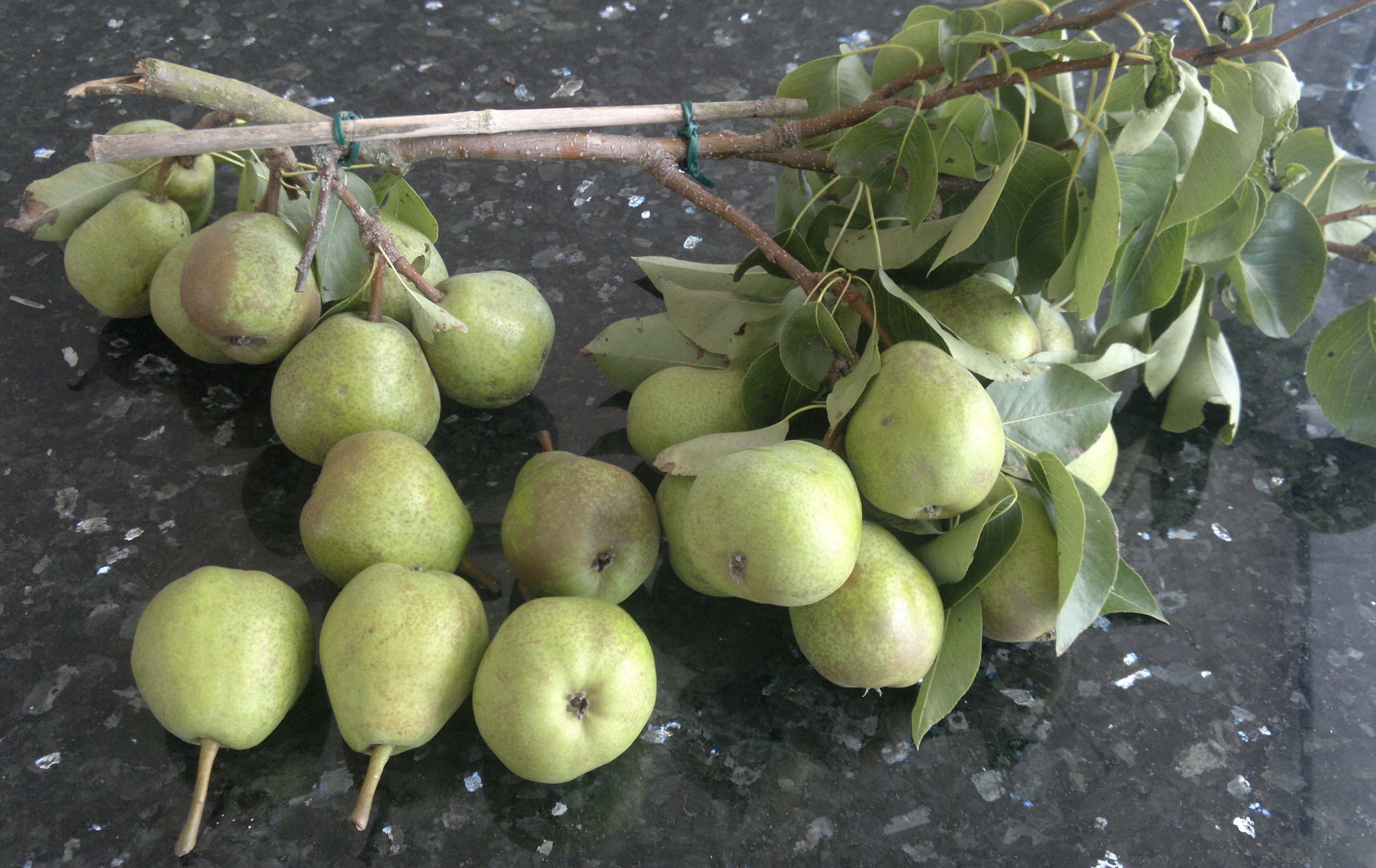 The broken branch, brought down by the large crop of pears