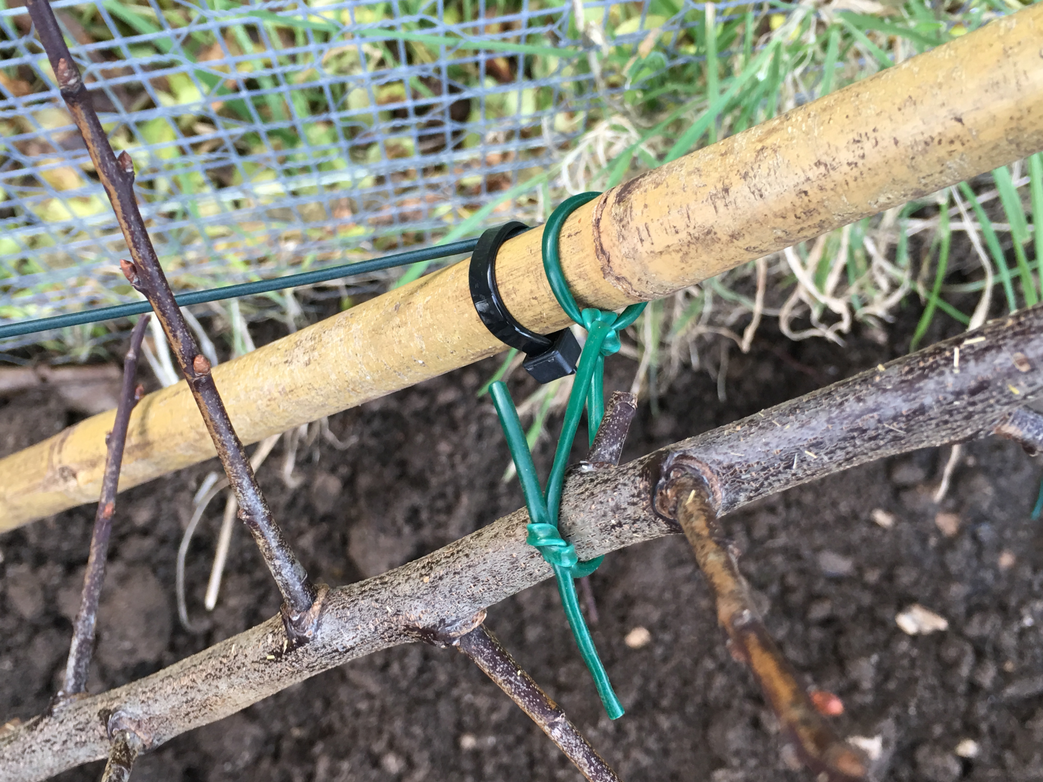 Stems attached to the canes with flexible plastic ties