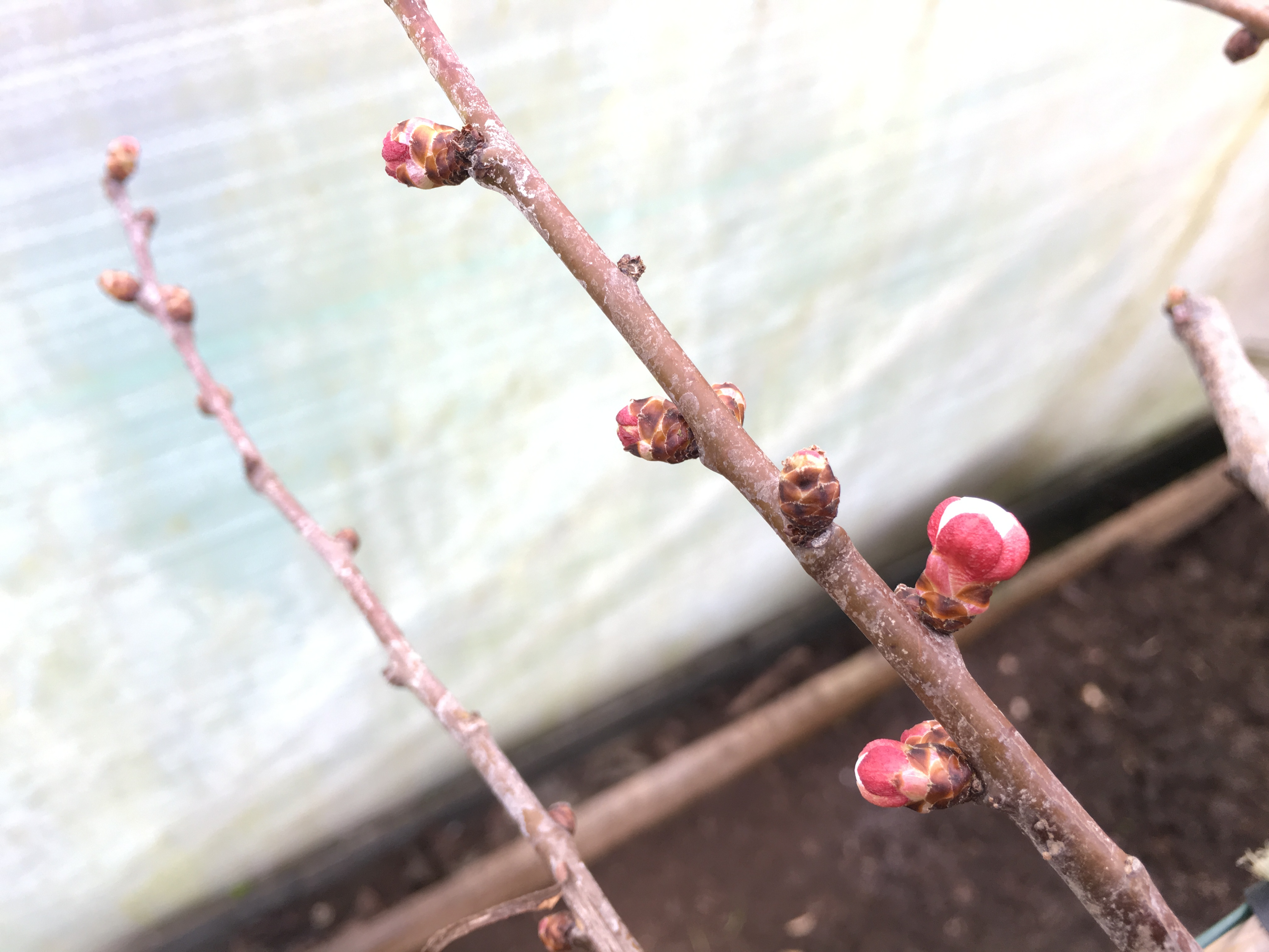 Fruit buds on the Bredase apricot