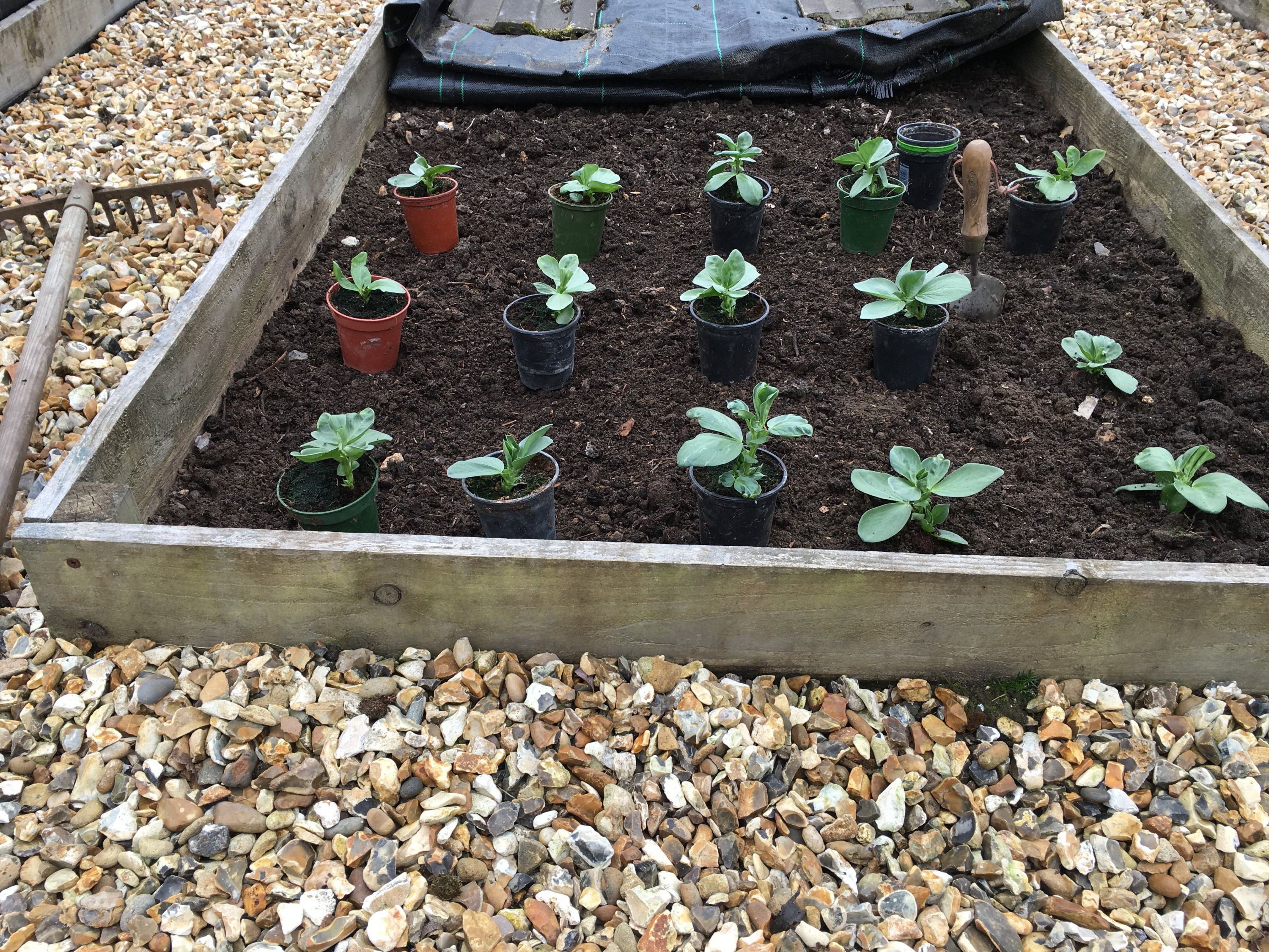 Robust young broad bean plants