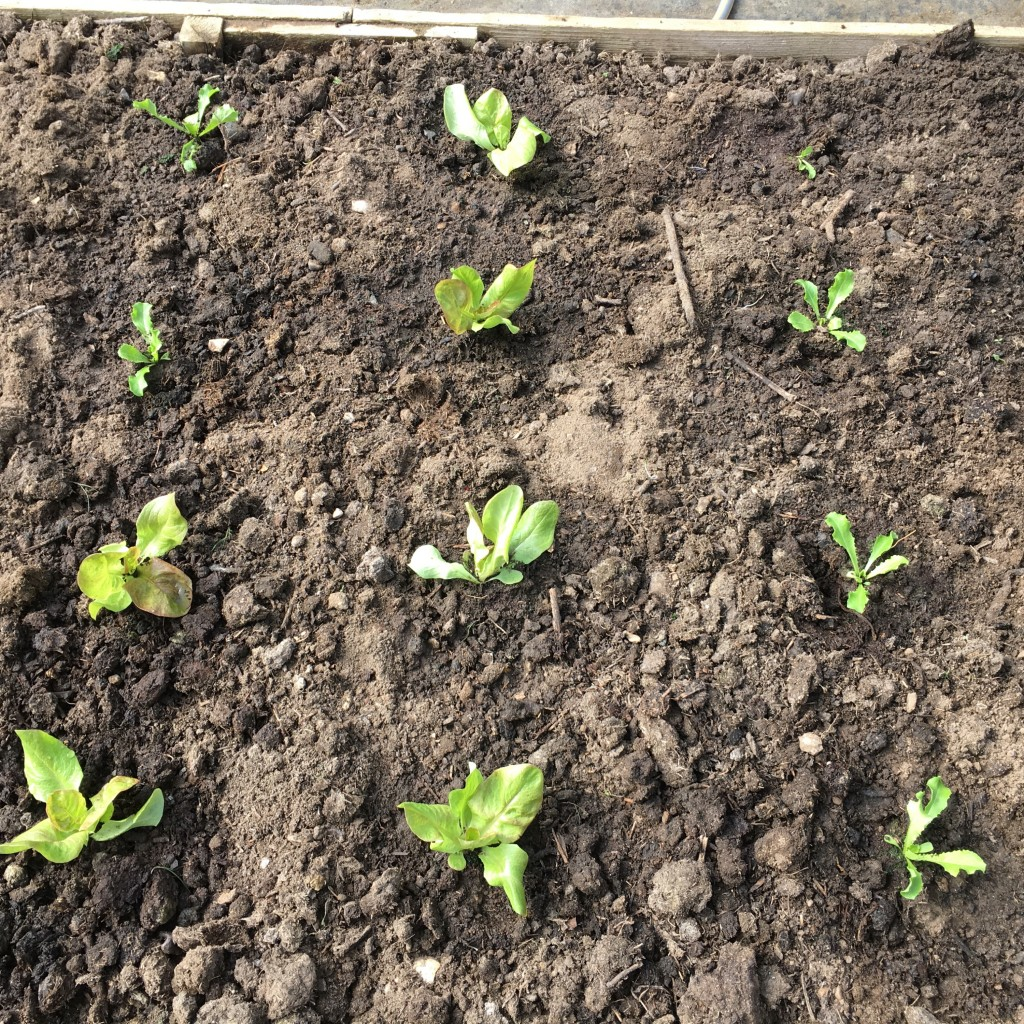 Young lettuces and endives
