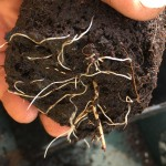 Taproot extending from the bottom of the root ball
