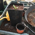 Potted on to a rather large, deep pot to allow the taproot to develop