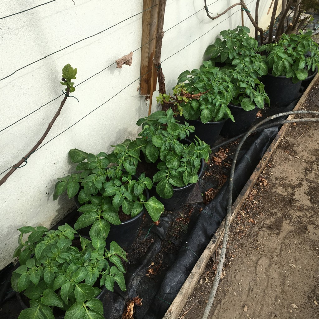 Healthy growth from the potato pots
