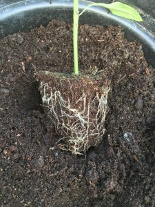Rootball in ideal condition for potting on