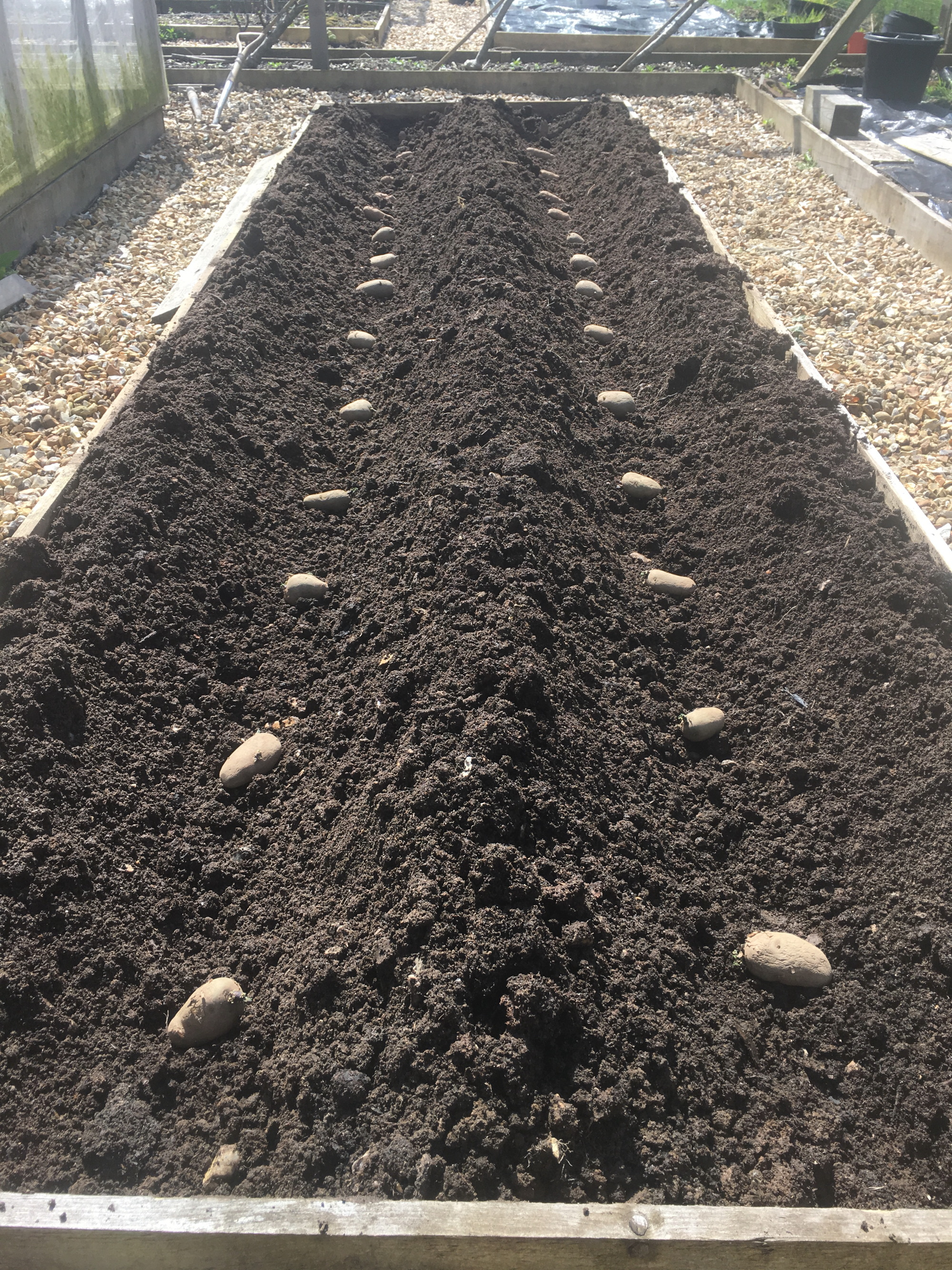 Chitted potatoes laid out ready for planting