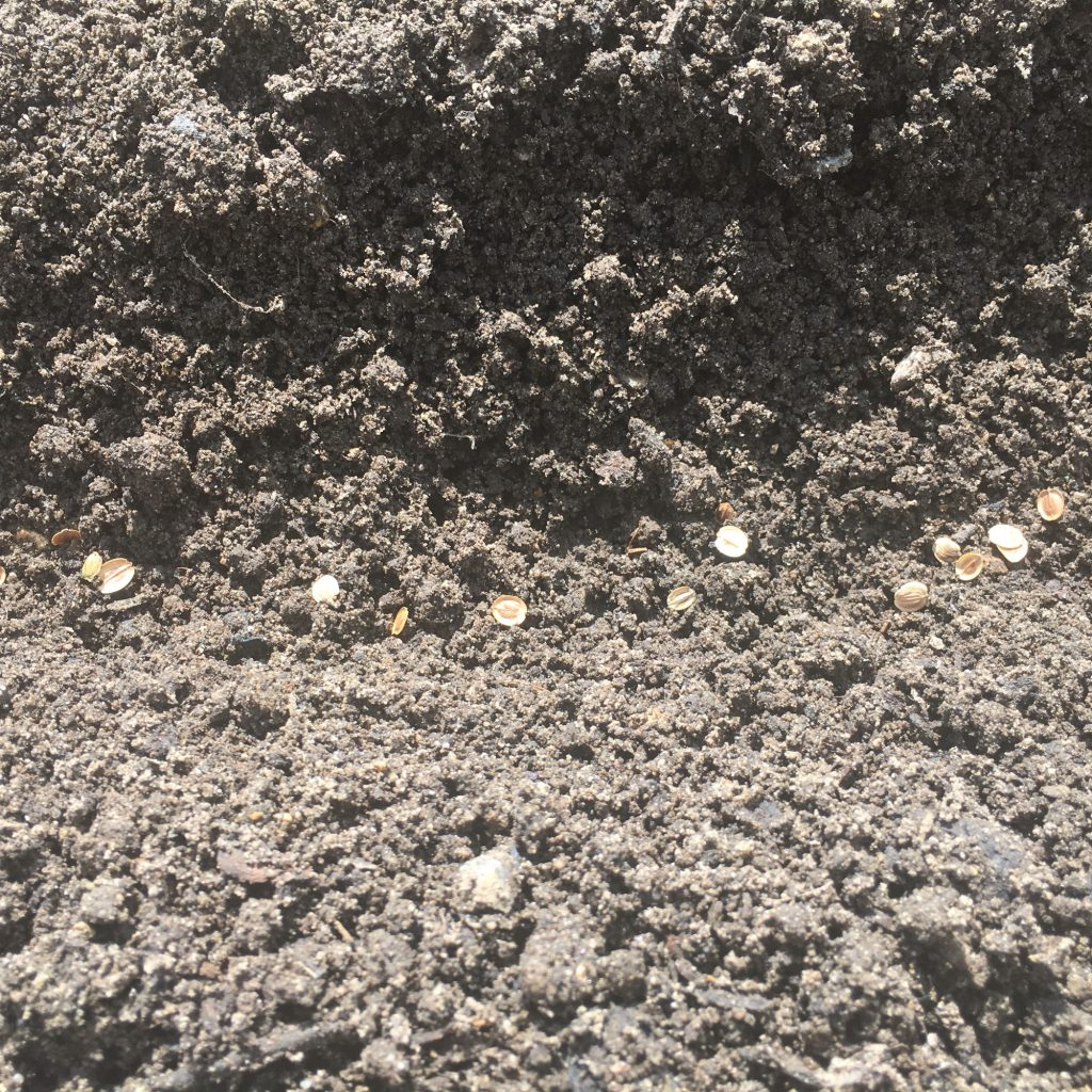 Parsnip seed sown fairly thickly as germination is often quite poor