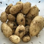 First crop from our potato pots