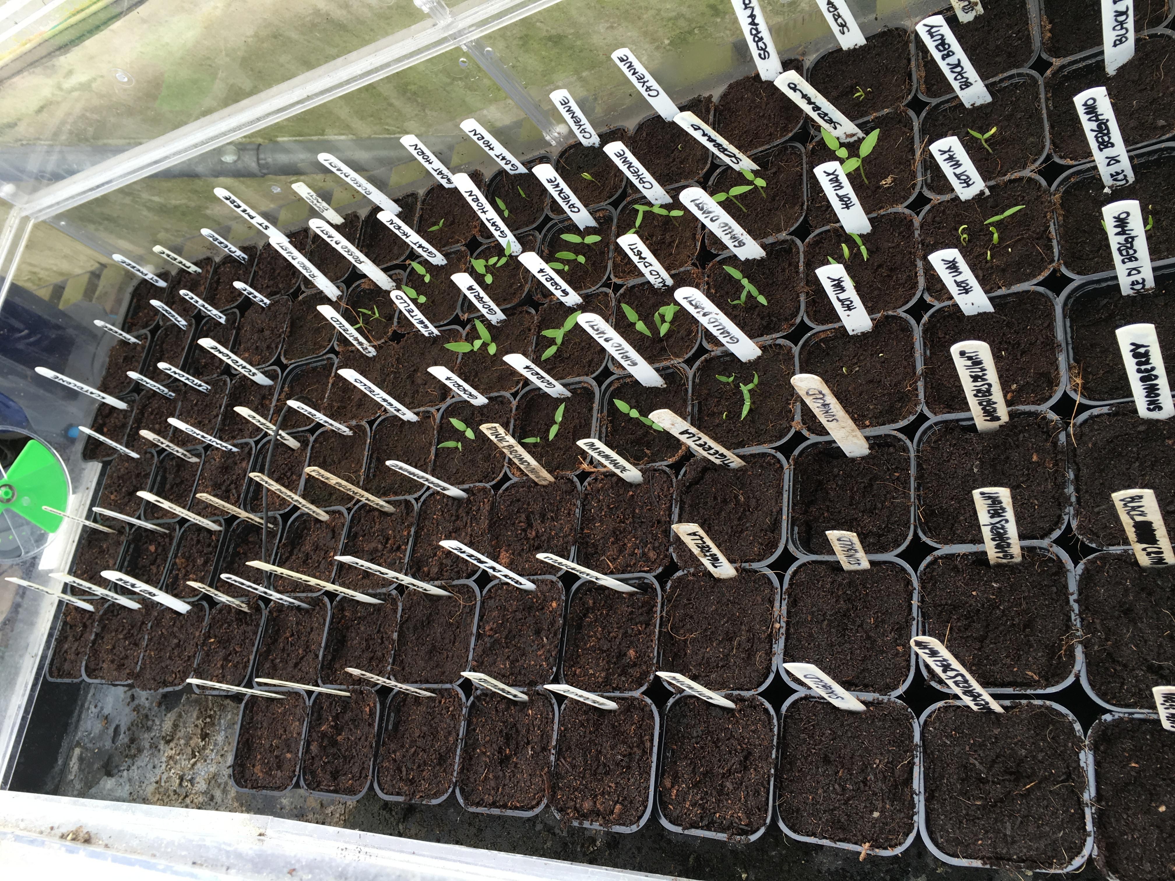 Tomatoes placed in the propagator should germinate in one week or so; some of the chilli seeds have germinated already