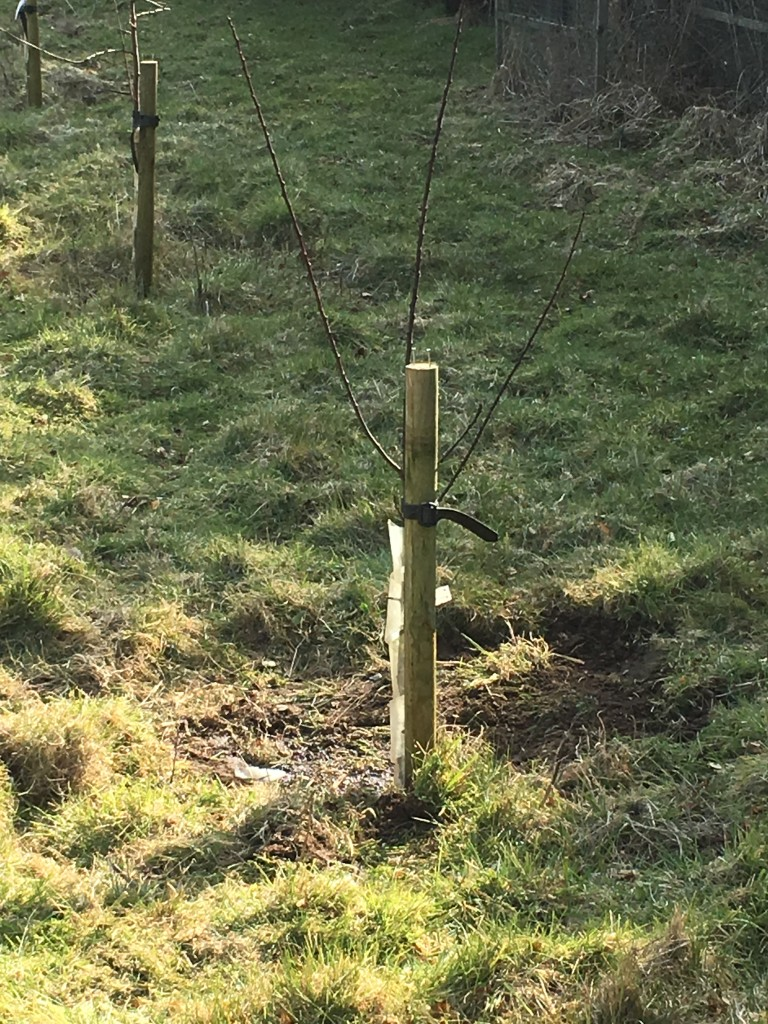 Replacement gage planted in the orchard
