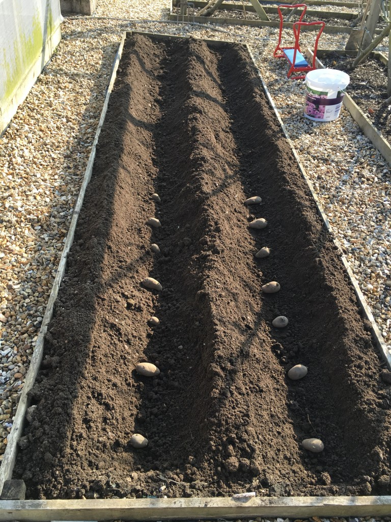 Tubers laid out ready for planting